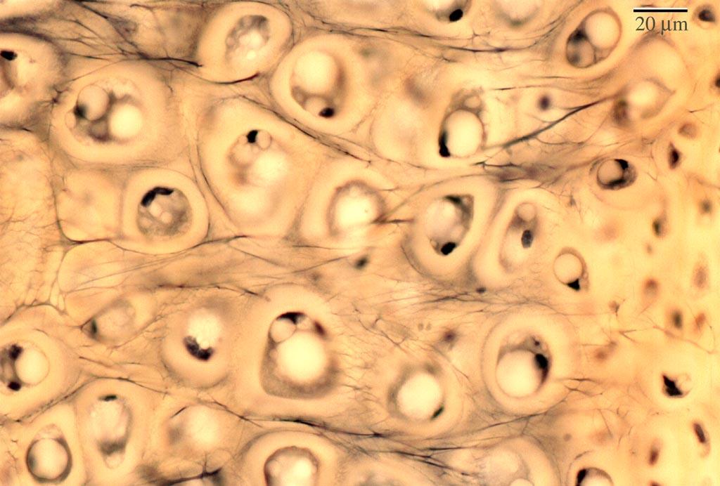 Histology Cartilage Lab Elastic Slide