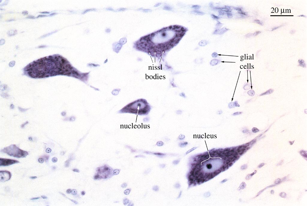 HISTOLOGY  Cell Biology Lab  Nissl Bodies