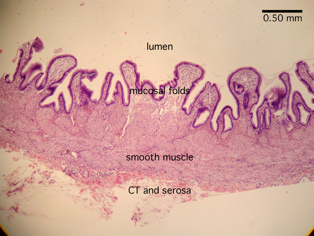 HISTOLOGY, Digestion Lab, Gall bladder