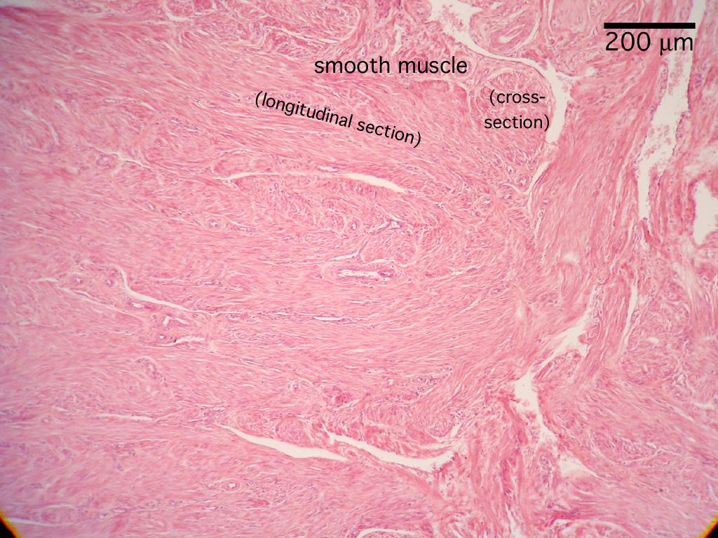histology reproduction uterus