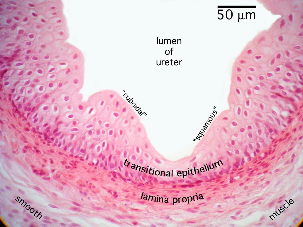 Histology Urinary System Ureter